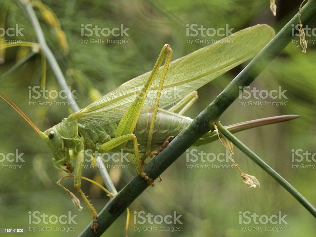 Big green grasshopper royalty-free stock photo