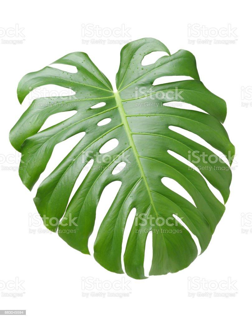 grande feuille verte de monstera plante sur fond blanc photos et plus d 39 images de arbre. Black Bedroom Furniture Sets. Home Design Ideas