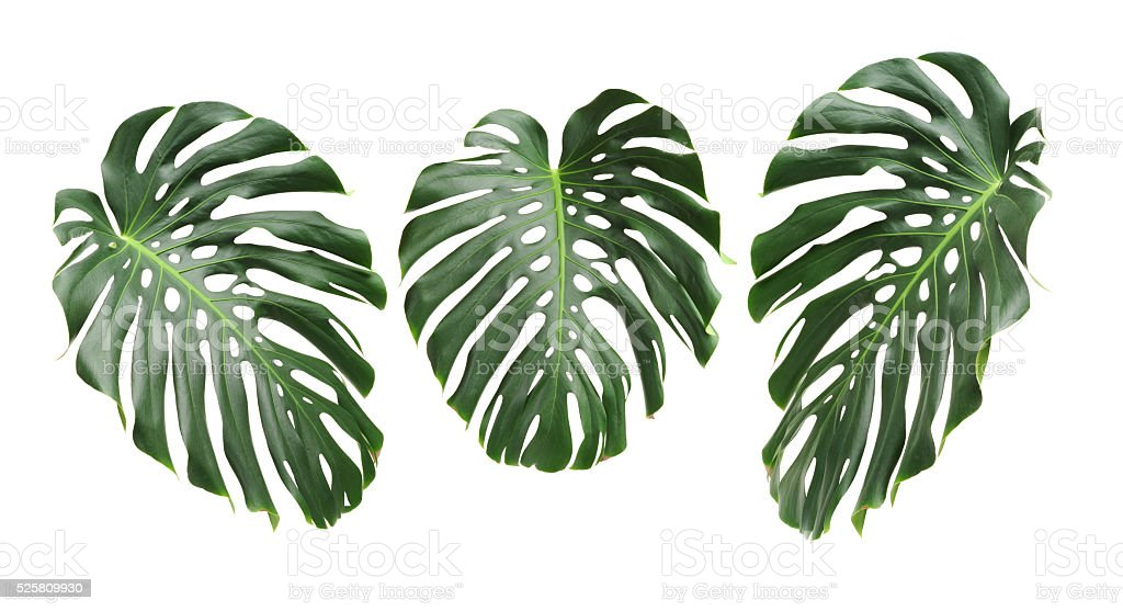 Big green leaf of Monstera plant stock photo