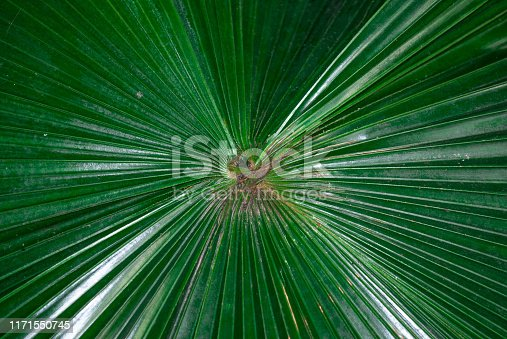 1146115746istockphoto Big green leaf of palm tree close up 1171550745