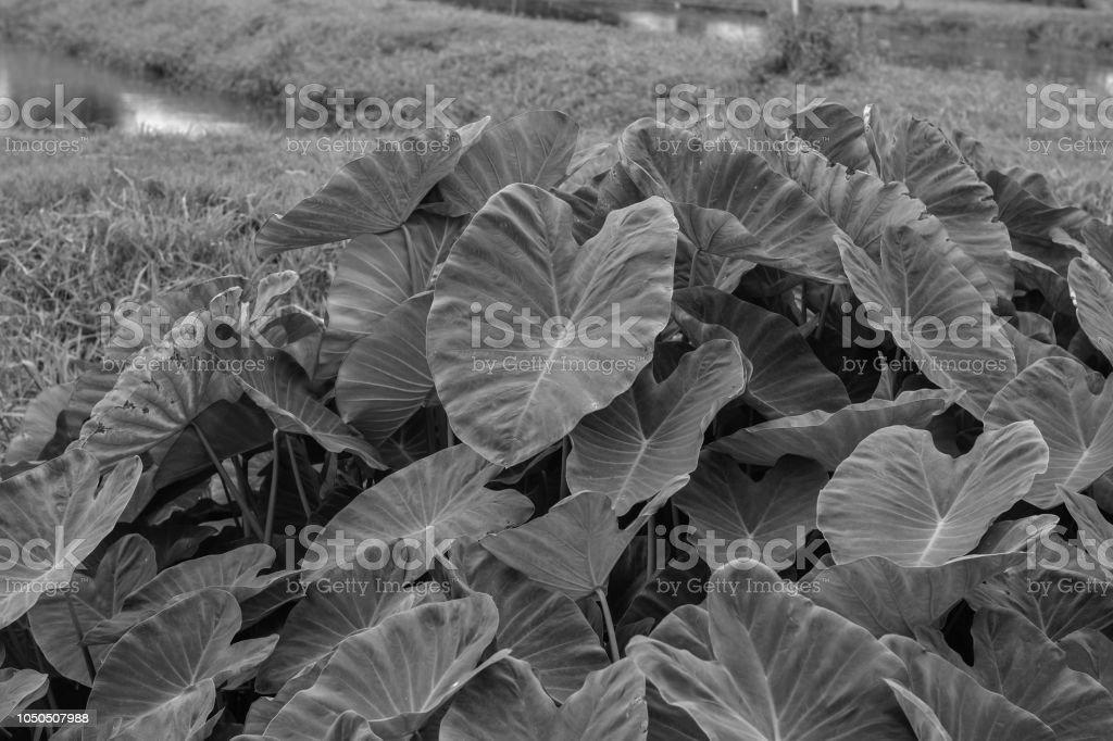Gros albinos-feuilles vertes comme oreille d'éléphant. Taro.Giant Taro, Alocasia Indica Green bushes, Biennale de plantes, les mauvaises herbes de l'eau qui se produisent dans les régions tropicales. - Photo