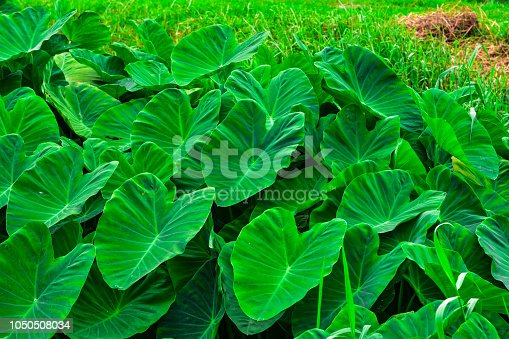 Big green leafy albino like elephant's ear. Shoots or heads can be processed into food. Taro.Giant Taro, Alocasia Indica Green bushes, biennial plants, water weeds that occur in the tropics.