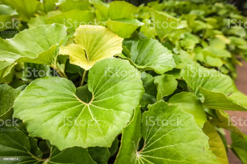 Big green leaves stock photo