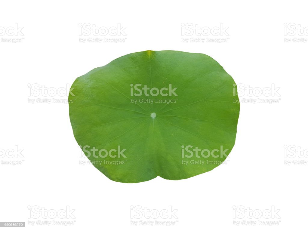Big green lotus leaf on white background stock photo