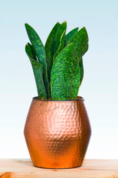 große grüne pflanze in einem schönen kupfer blumentopf isoliert auf einem weißen hintergrund, design-konzept im inneren kupfer - küche deko grün stock-fotos und bilder