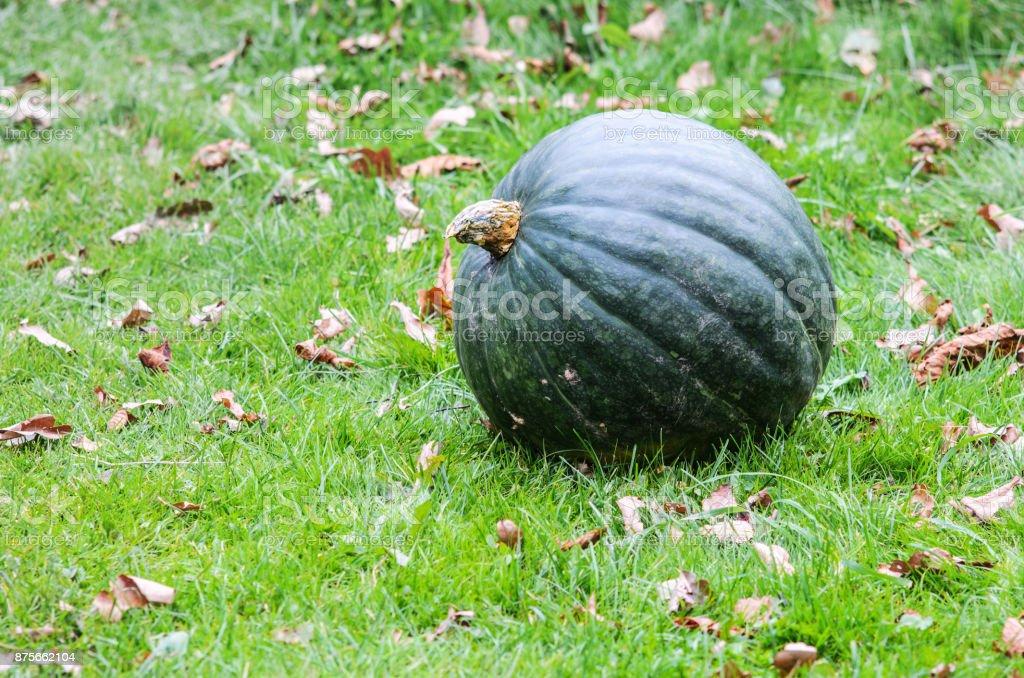 Big Green Pumpkin stock photo