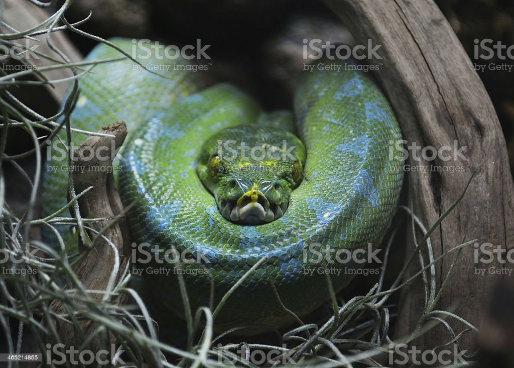 Big green snake stock photo