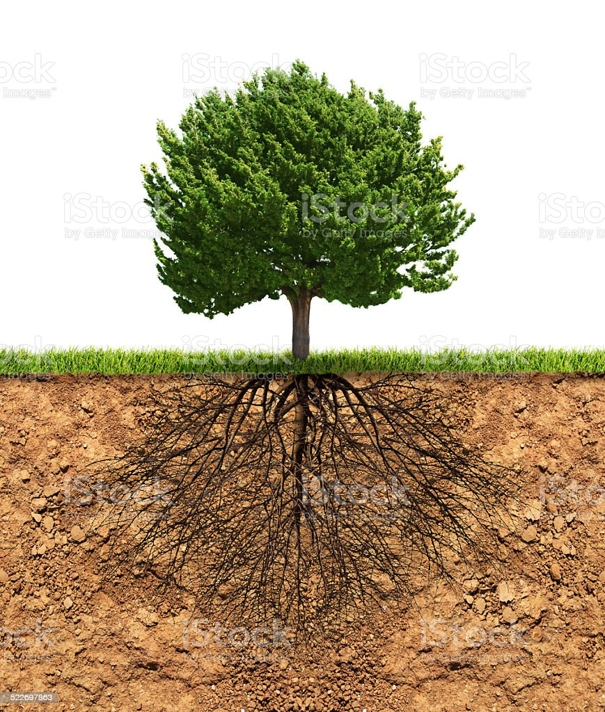Big green tree with roots beneath stock photo