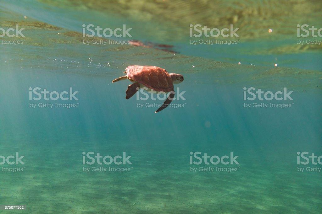 Big Green turtle stock photo