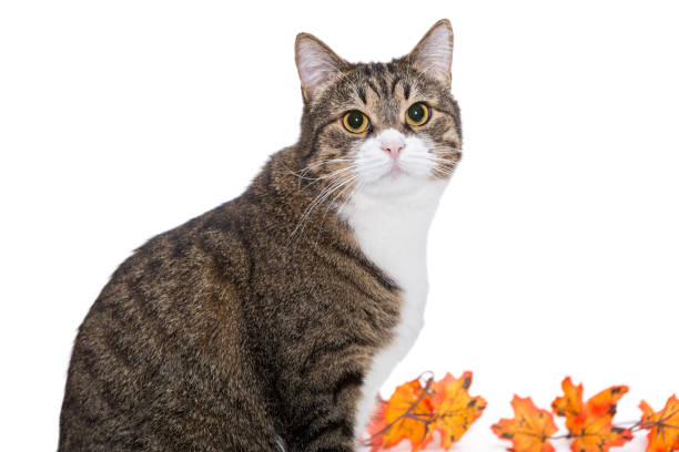 Big grey cat and autumn leaves picture id881023608?b=1&k=6&m=881023608&s=612x612&w=0&h=7xyj30 7 bayk21p dp7lg 2nigghpdj 1 xpg158e0=