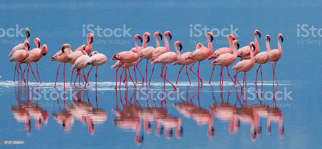 Big group flamingos on the lake. Kenya. stock photo