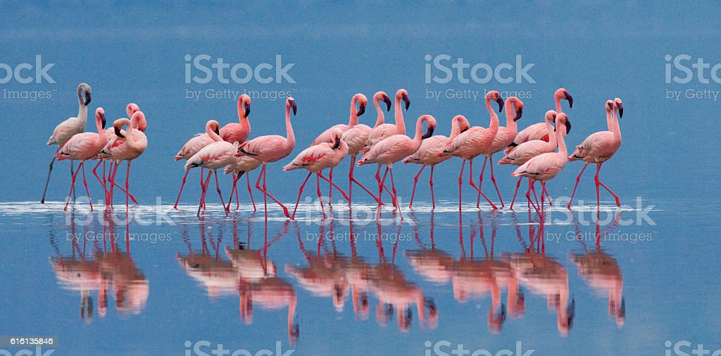 Big group flamingos on the lake. Kenya. royalty-free stock photo