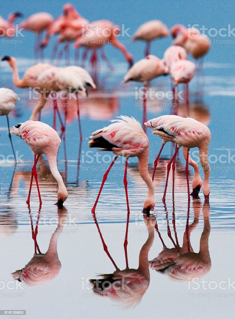 Big group flamingos on the lake. Kenya. stock photo