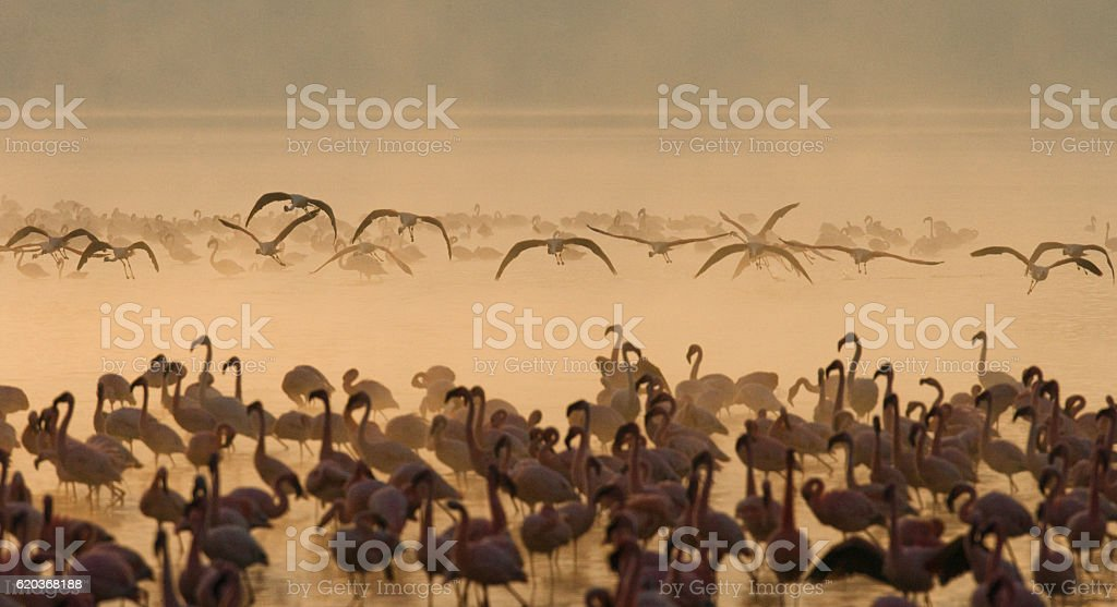 Big group flamingos on the lake. Kenya. zbiór zdjęć royalty-free