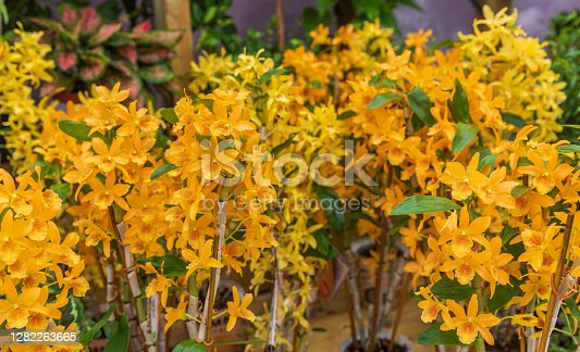 Big group of the orchid noble with orange color flowers