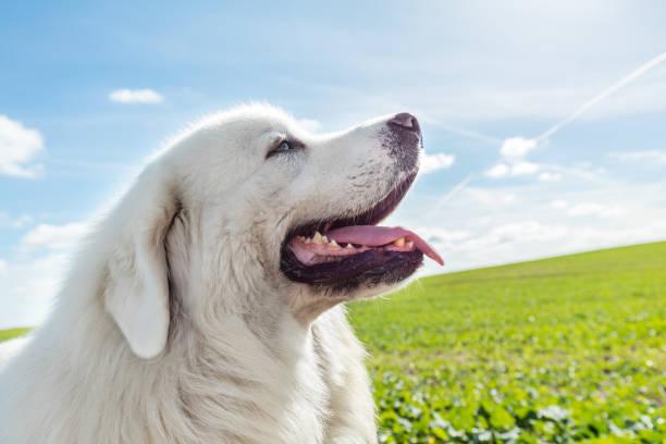 big guard dog enjoying a walk on a sunny day. polish tatra sheepdog - allevatore foto e immagini stock