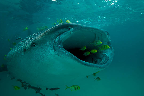 Big Gulp A group of golden jacks swim to escape the wide mouth of a whale shark.  Mafia Island, Tanzania whale shark stock pictures, royalty-free photos & images