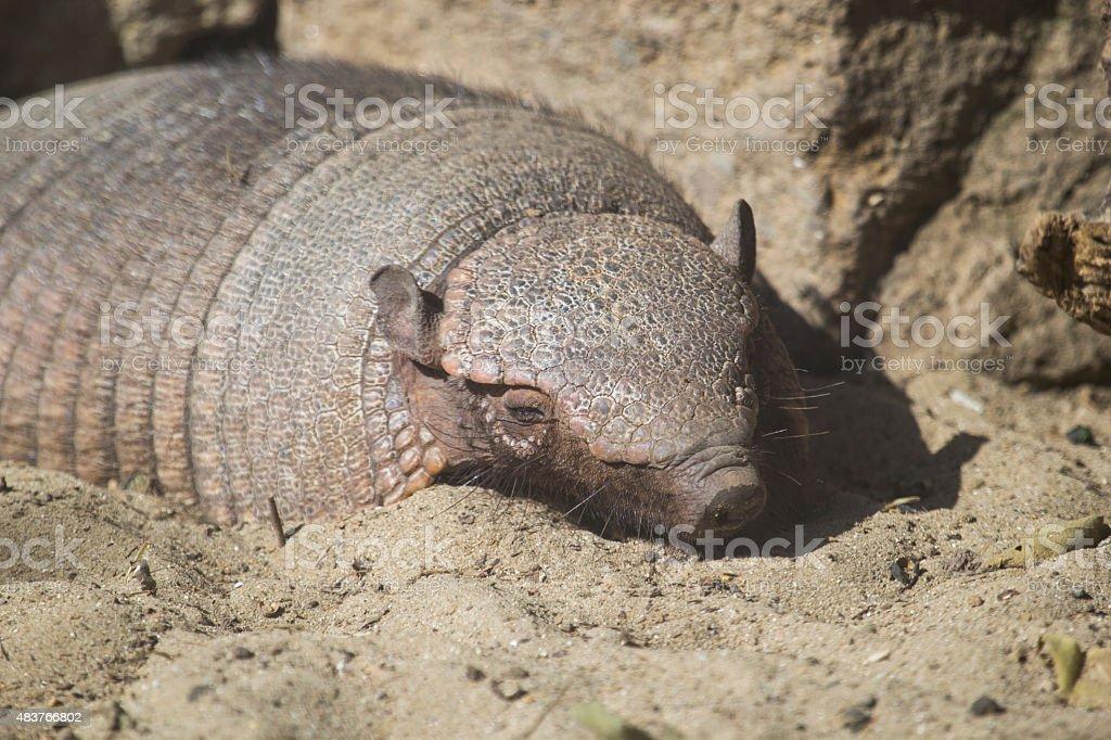 Big peludo armadillo dormitorio - foto de stock