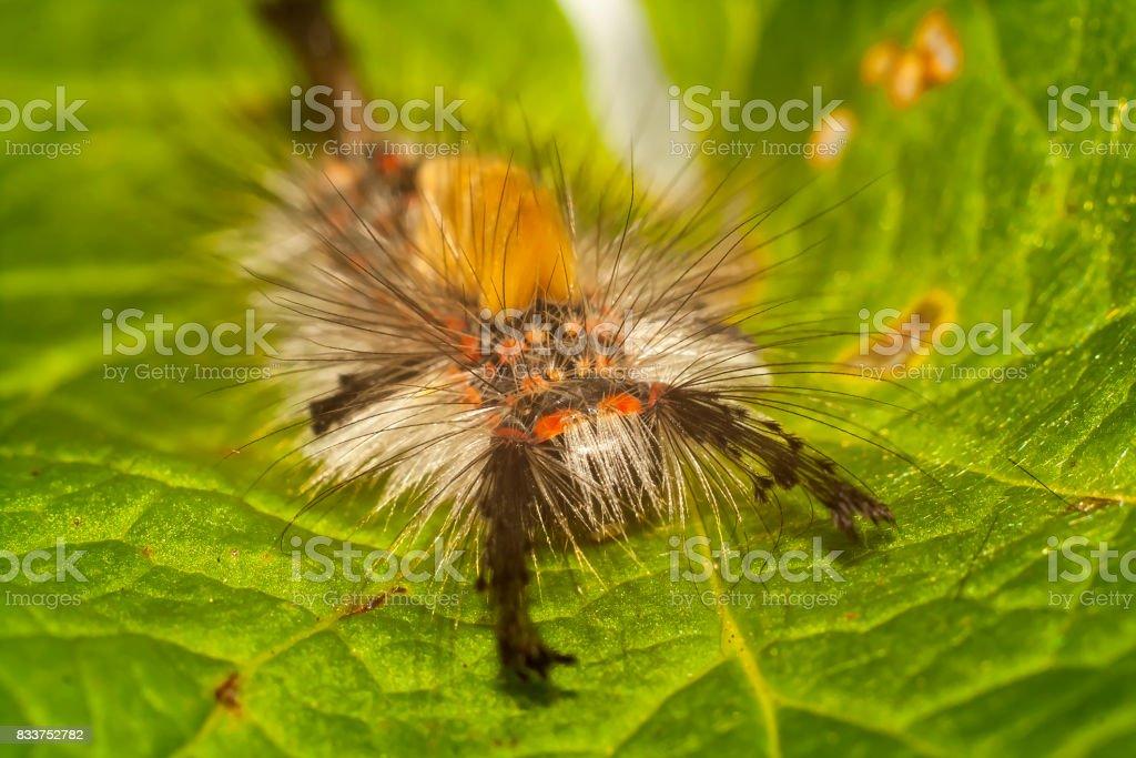 big, hairy caterpillar stock photo