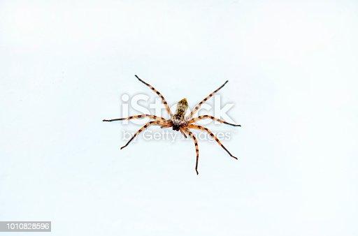 Big hairy ugly spider macro, isolated