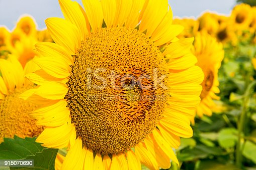 Big head of sunflower, summer natural background