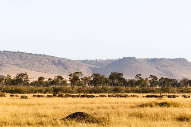 在馬賽馬拉的大草原上的非洲水牛大群。肯雅、非洲 - 平原 個照片及圖片檔