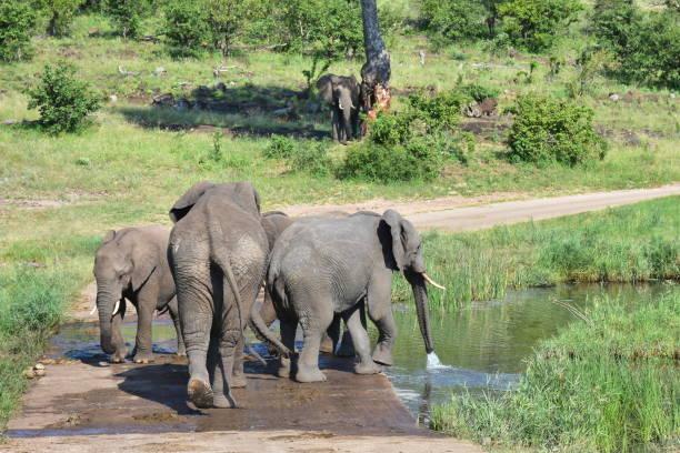big herd of elephant drinking water from small bridge stock photo