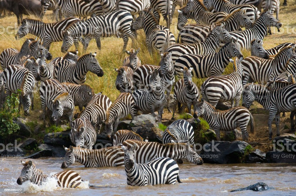 Big herd of zebras standing in front of the river. Kenya. Tanzania. stock photo
