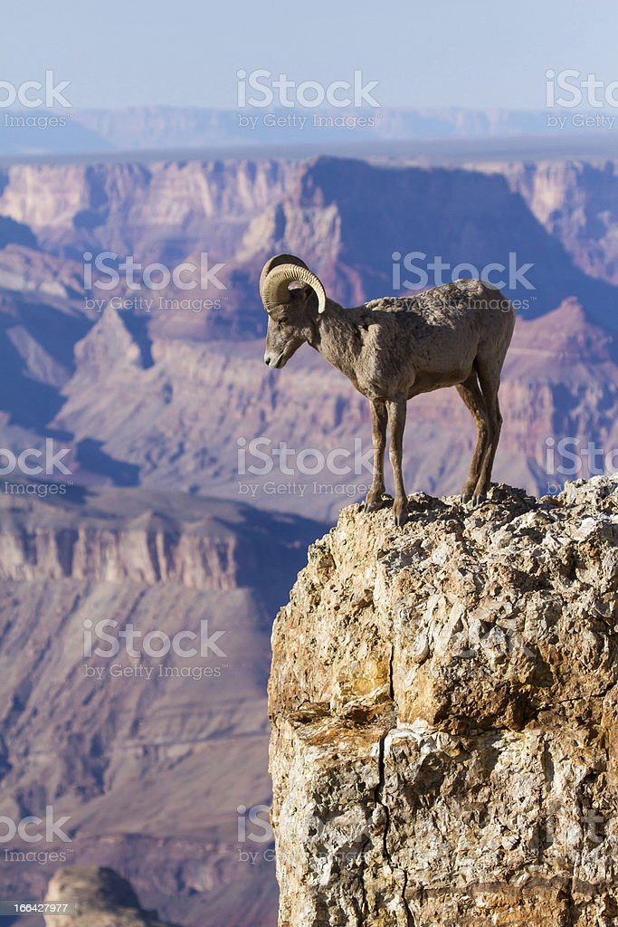 Big Horn Ram Standing On The Edge Of Grand Canyon stock photo