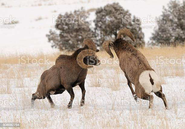 Big Horn Rams Stock Photo - Download Image Now