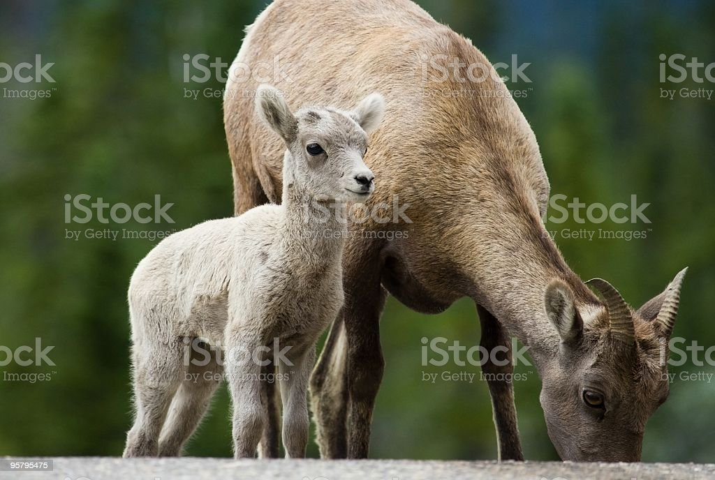 Big Horn Sheep - Baby Lamb stock photo