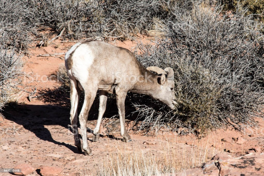 Big Horn Sheep Eating In Canyonlands National Park In Utah Stock Photo