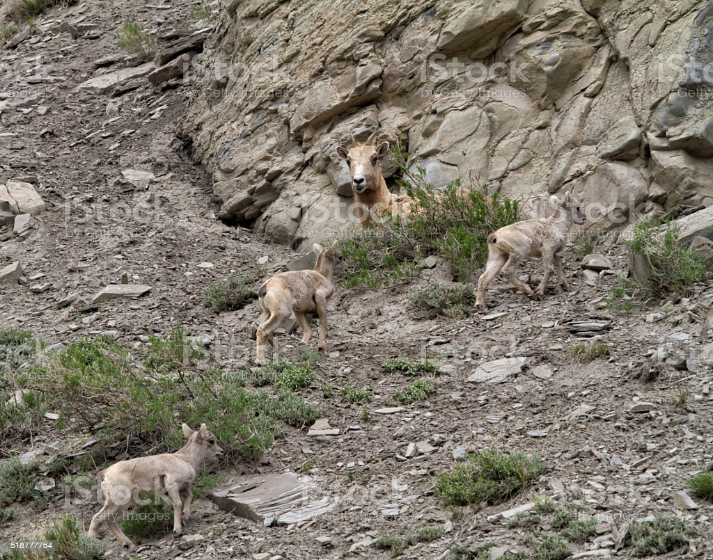 Big Horn Sheep Family stock photo