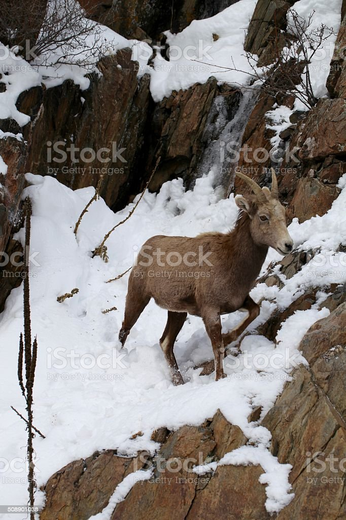 Big Horn Sheep on cliff stock photo