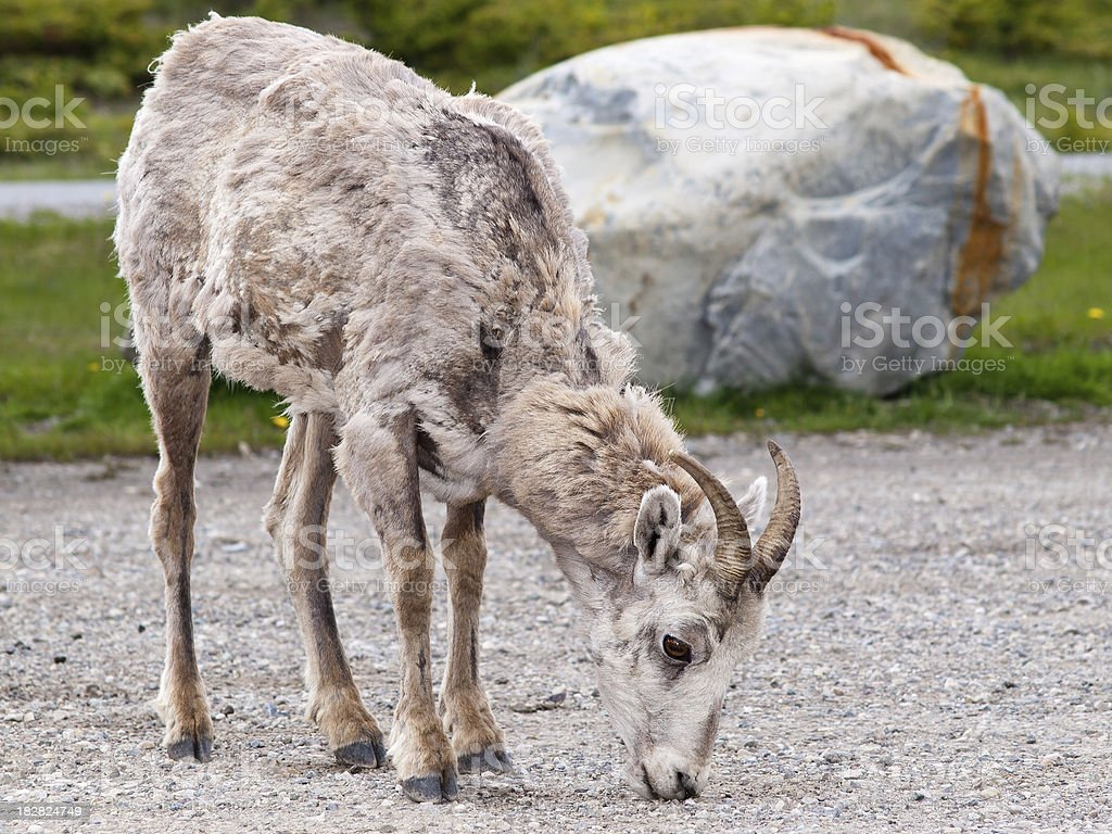 Big Horn Sheep on gravel royalty-free stock photo