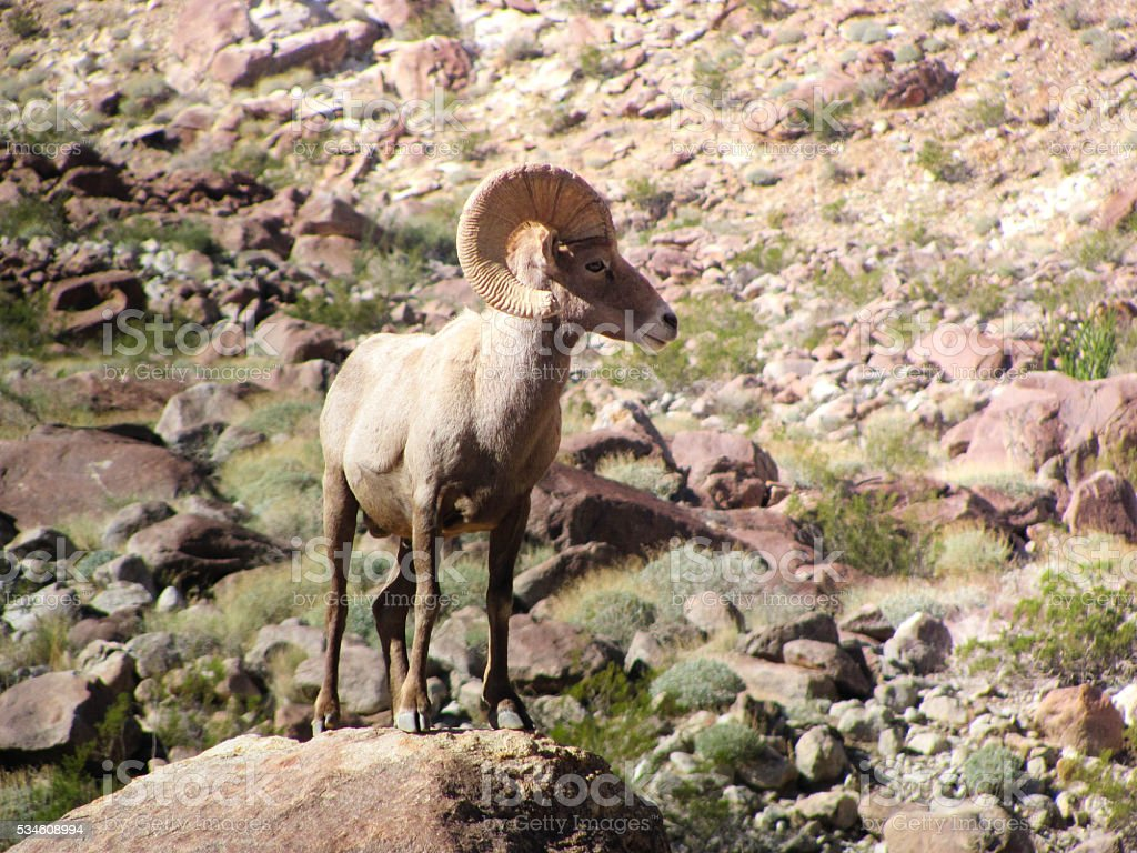 Big Horn Sheep on Rock stock photo