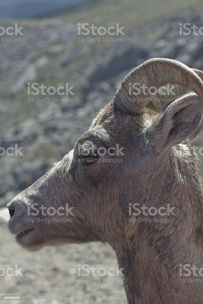 Big Horn Sheep royalty free stockfoto