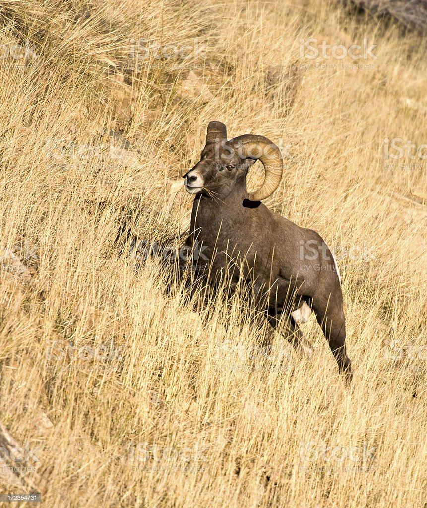 Big Horn Sheep Ram on Mountainside royalty-free stock photo