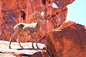 During the rutting season in the Valley of Fire the Big Horn Sheep rams don't mind the summer heat. They are out looking for a female. Nimble on the sheer rocks he has a good view.