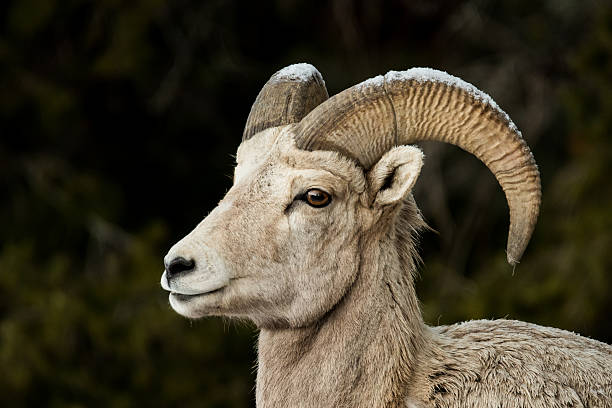 big horn sheep with snowy horns - dally stock pictures, royalty-free photos & images