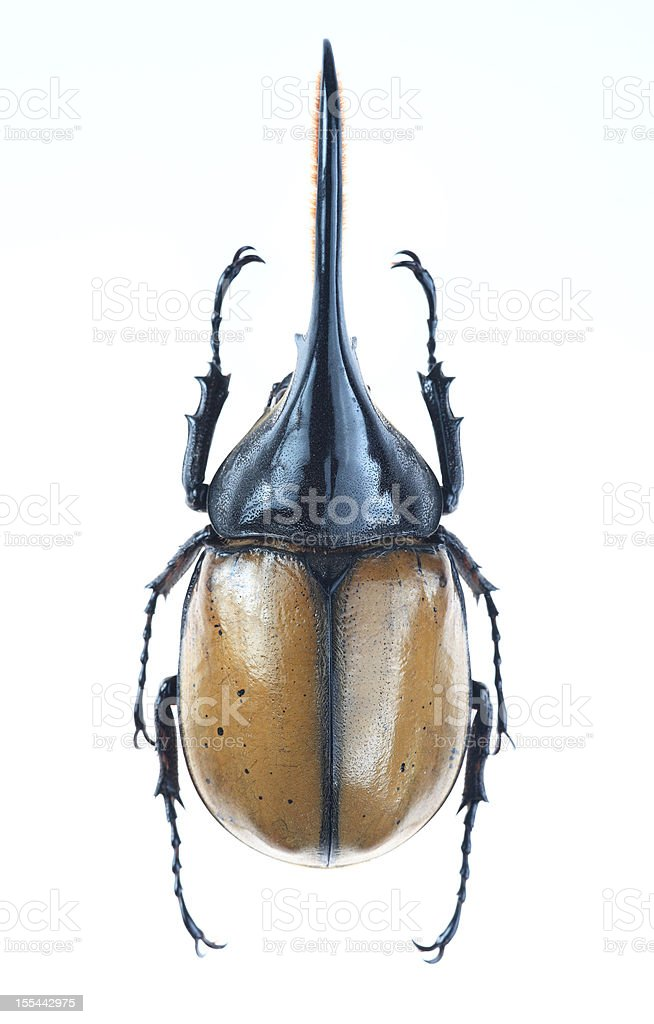 Brevicornis Gran Escarabajo Hércules Stock Foto e Imagen de Stock ...