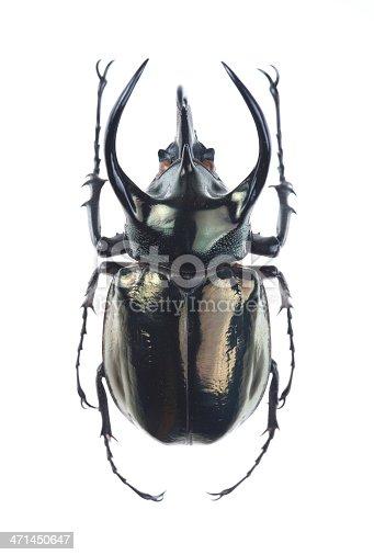 Big horned beetle(Chalcosoma atlas)