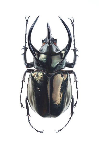 big horned beetle (chalcosoma atlas) - besouro - fotografias e filmes do acervo