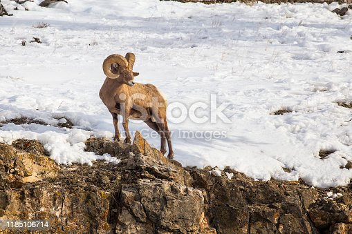 This big ram sheep was in Yellowstone National Park on a high ledge.