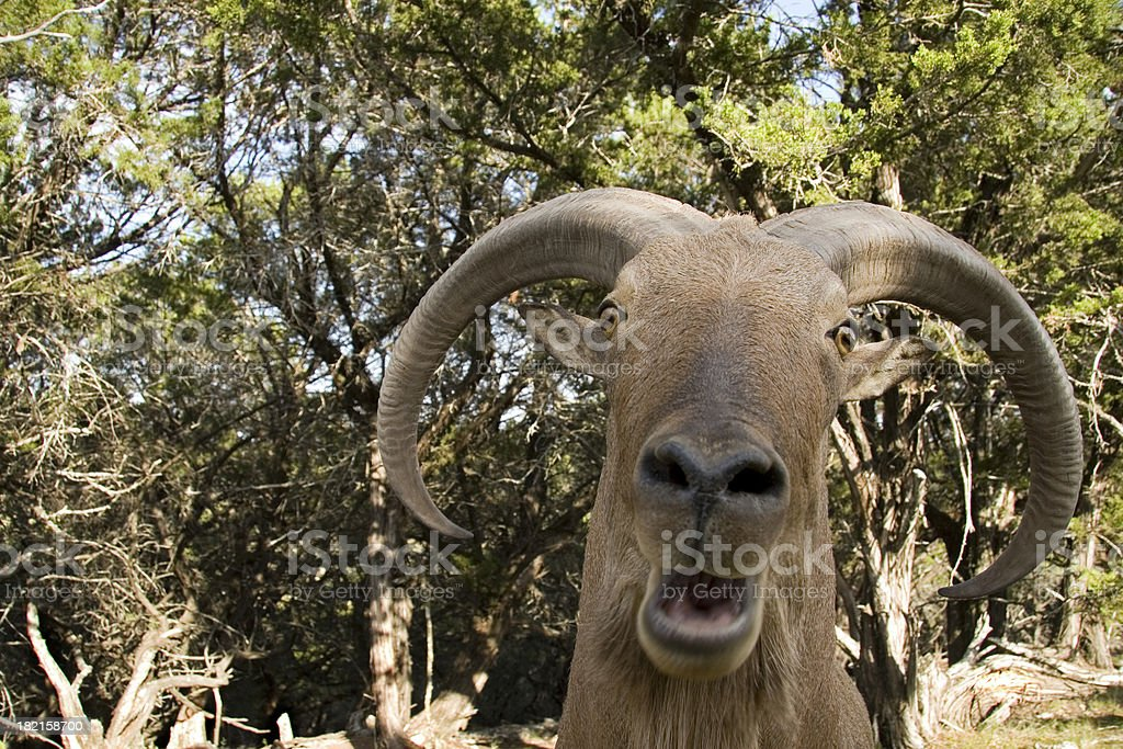 big horned sheep laughing stock photo