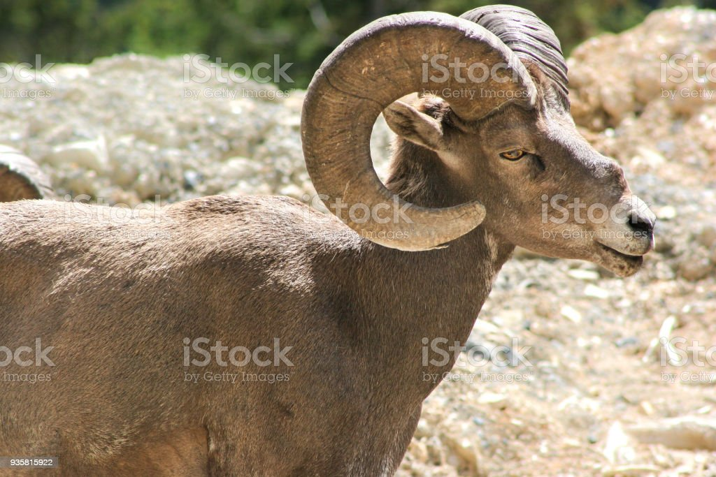 Big Horned Sheep Mountain Goat stock photo