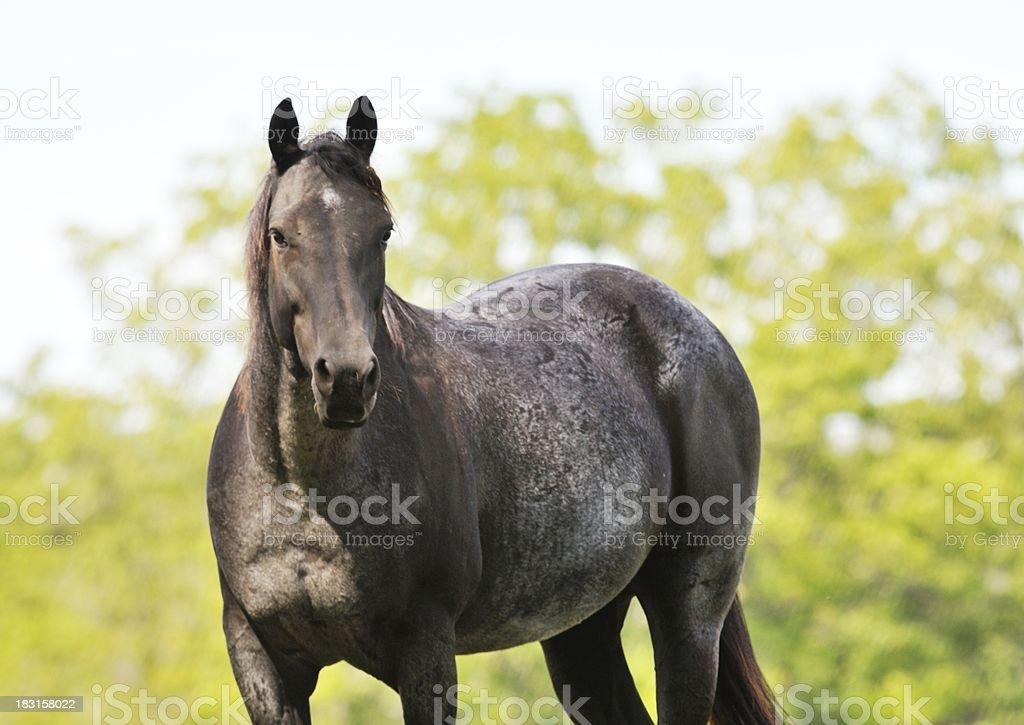 Big Horse royalty-free stock photo