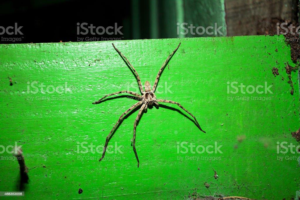 Big huntsman spider in Thailand at night royalty-free stock photo