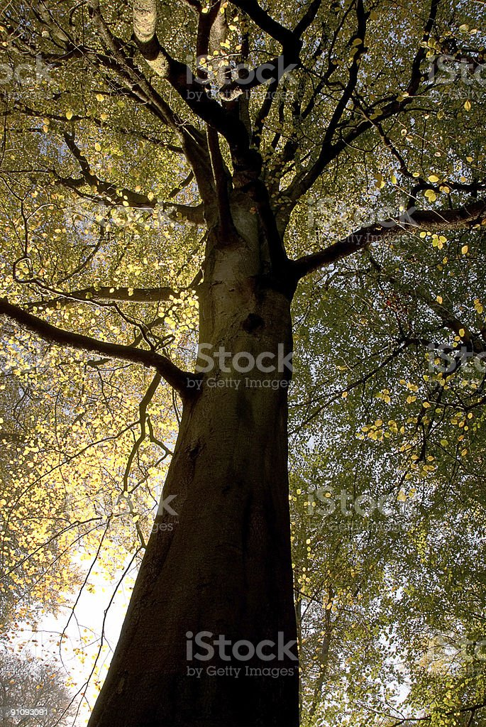 Big imposing tree in Autumn woods royalty-free stock photo