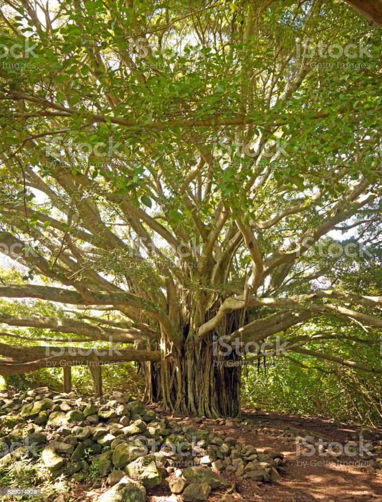 Big indian banyan tree stock photo